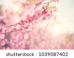 close up cherry blossom or... | Shutterstock . vector #1039087402