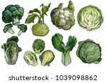 a set of cabbage  broccoli ... | Shutterstock . vector #1039098862