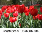 bright red tulips | Shutterstock . vector #1039182688