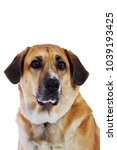 Isolated Lab Collie Mix Dog On...