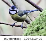 A blue tit on a twig at Leighton moss nature reserve