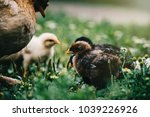 mother hen with her baby chicks ... | Shutterstock . vector #1039226926
