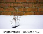 Dried Plants Covered In Snow I...