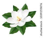 magnolia flower. realistic... | Shutterstock .eps vector #1039255876