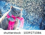 Stock photo portrait of a blue british shorthair cat wearing knitted scarf cat sitting outdoors in the snow 1039271086