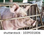 lonely pig in organic farm in... | Shutterstock . vector #1039331836