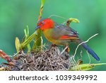 beautiful colorful bird  red... | Shutterstock . vector #1039349992