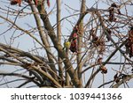 Small photo of Blue tit on persimmon fruit tree in autumn in Italy Latin name cyanistes caeruleus from the paridae family of passeriformes