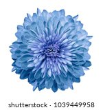 Chrysanthemum Blue. Flower On ...
