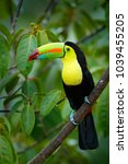 toucan sitting on the branch in ... | Shutterstock . vector #1039455205