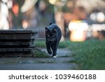 Stock photo young black cat goes to the street 1039460188