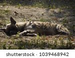 spotted hyena sleeping after... | Shutterstock . vector #1039468942