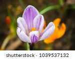 Spring Beautiful Crocus Flower...