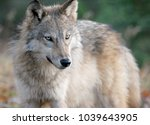 gray wolf or timber wolf in... | Shutterstock . vector #1039643905