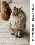furry cat outdoor  siberian... | Shutterstock . vector #1039672606