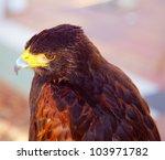Aquila Nipalensis Steppe Eagle...