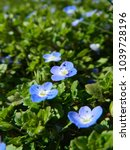Small photo of Veronica persica, little blue spring flowers