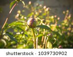 Unopened Bud Of Peony In The...