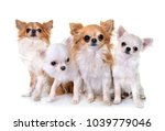 Four Chihuahuas In Front Of...