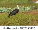 The Woolly Necked Stork Or...