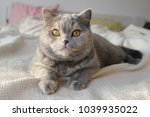 gray british sweet cat | Shutterstock . vector #1039935022