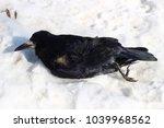dead crow in the snow | Shutterstock . vector #1039968562