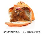 red toy poodle in fashionable... | Shutterstock . vector #1040013496