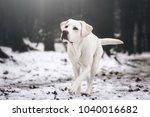 young white labrador retriever... | Shutterstock . vector #1040016682