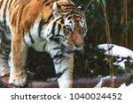 the siberian tiger  panthera... | Shutterstock . vector #1040024452
