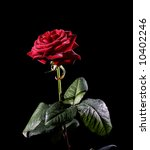 classic red rose isolated on... | Shutterstock . vector #10402246