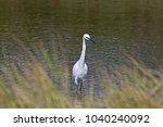 great white heron or great... | Shutterstock . vector #1040240092