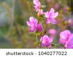 pink flowers of rhododendron... | Shutterstock . vector #1040277022