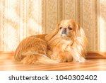 alone red dog pekingese breed... | Shutterstock . vector #1040302402