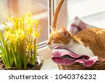 Stock photo morning sunlight on the sleeping red cat cute funny red white cat on the windowsill in basket with 1040376232