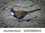 Small photo of Eastern Whipbird in Lamington National Park, Queensland Australia.