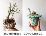 Small photo of Ceraria pygmaea Blue pot and Commiphora kataf var. turkanensis in Clay pot