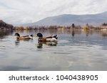 Ducks Swimming On The Lake ...