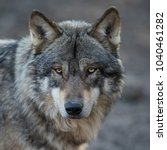 grey wolf animal | Shutterstock . vector #1040461282