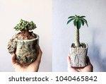 Small photo of Dwarf tree Dorstenia hybrid garden nursery, Thailand and Ceraria pygmaeaa Form South Africa