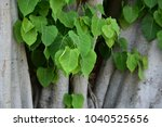 Small photo of Bo leaf have v-shape or heart shape.Bo leaf have v-shape or heart shape.