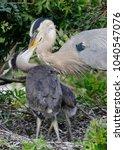 great blue heron  ardea...   Shutterstock . vector #1040547076