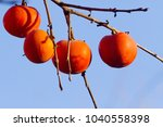 persimmons on the tree in blue... | Shutterstock . vector #1040558398