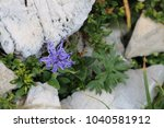 purple blooming mountain flower | Shutterstock . vector #1040581912