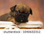 puppy of the french bulldog | Shutterstock . vector #1040632312