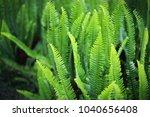nephrolepis exaltata  the sword ... | Shutterstock . vector #1040656408