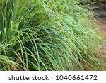 cymbopogon  lemongrass    a... | Shutterstock . vector #1040661472