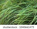 cymbopogon  lemongrass    a... | Shutterstock . vector #1040661475