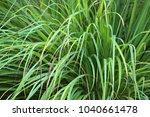 cymbopogon  lemongrass    a... | Shutterstock . vector #1040661478