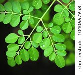 Small photo of Moringa leafs - Moringa oleifera (the most widely cultivated species of the genus Moringa, which is the only genus in the family Moringaceae)