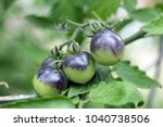 three young green tomato on... | Shutterstock . vector #1040738506